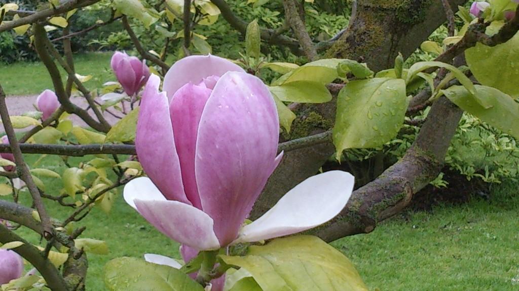 Magnolia i Norra Promenaden